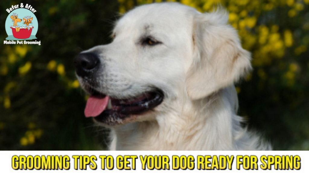 Yellow Lab Smiling - Spring Grooming Tips