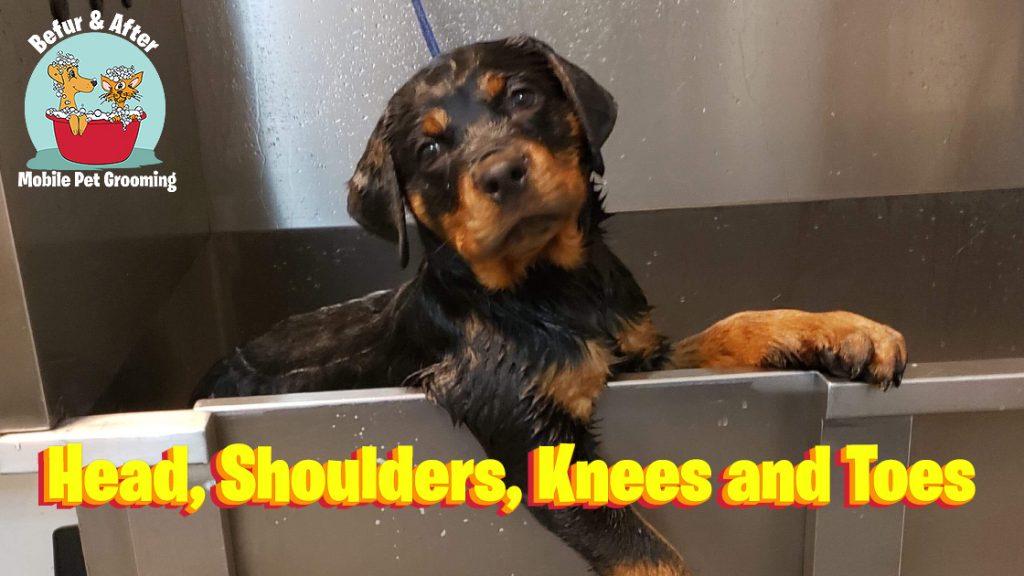 Cute rottweiler puppy getting a bath
